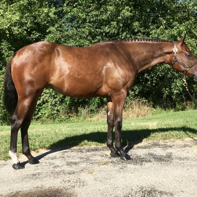 """SOLD congratulations Kaitlin Larschan***** 2019 bay mare """"NI The First One"""" by Naturally Inspiring out of LadyN Jeans N Pearls ( reserve world champion producer)"""
