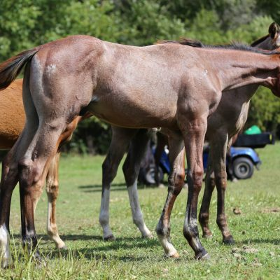 Solve The code 2020 roan colt by VS Cracked The Code out of Toast To Madraar proven producer he will mature to close to 18 hands