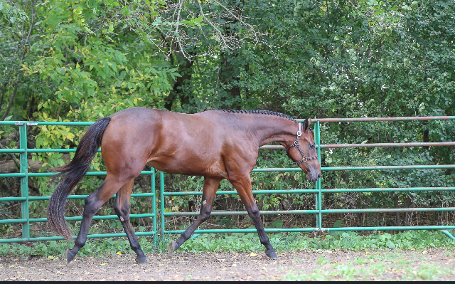 """2019 """"NI Oh La La"""" bay gelding he is 16.2 hands now string test to be 17 hands by Naturally Inspiring out of DeJa Voo ( these iron are hot daughter)  Enrolled in the NSBA incentive fund and Breeders championship"""